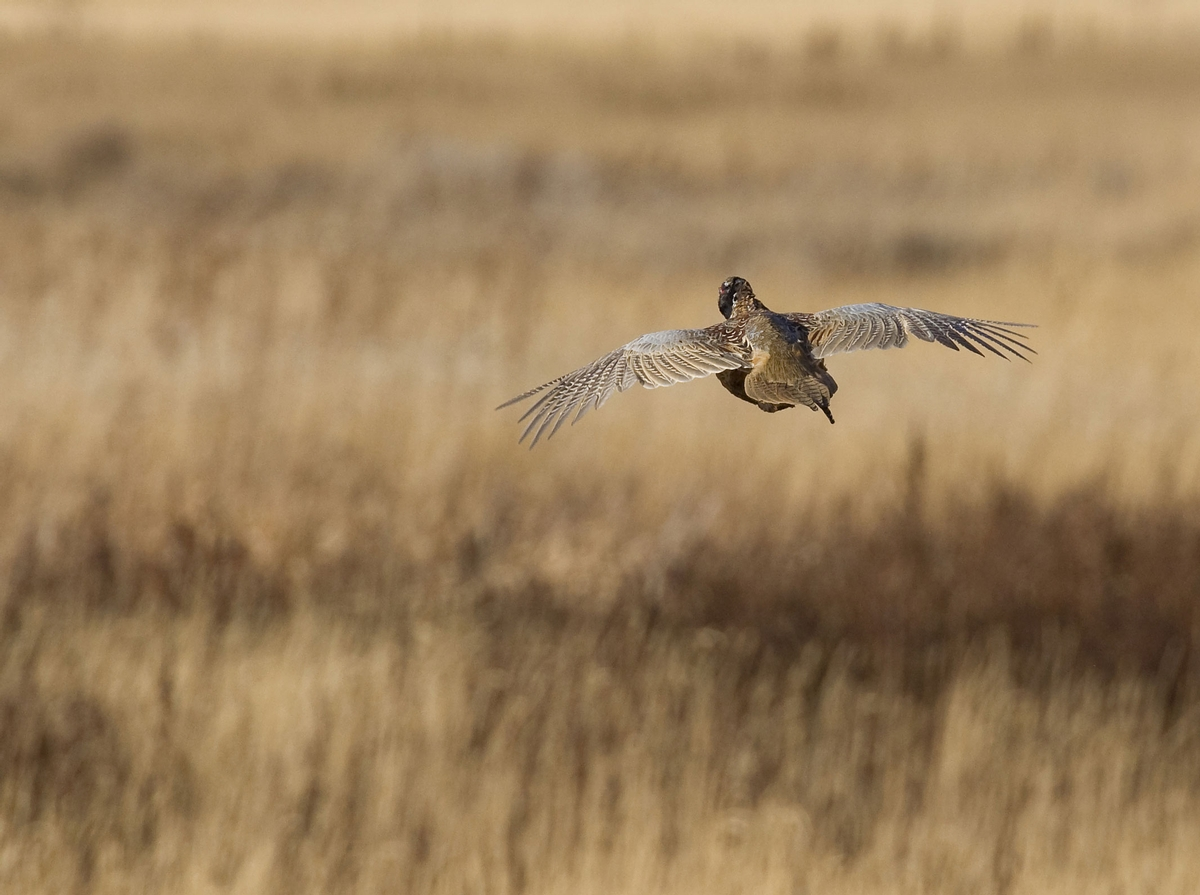 Wild Pheasant Hunts South Dakota